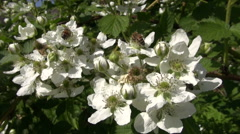 Bees collecting pollen from flowering bramble Stock Footage