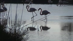 Free pink flamingo - stock footage