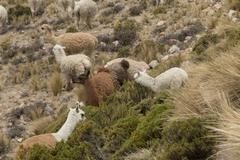 Group of alpaca grazing - stock photo