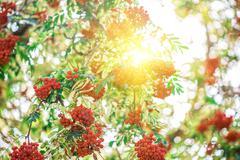 rowan-tree with rowanberry - stock photo