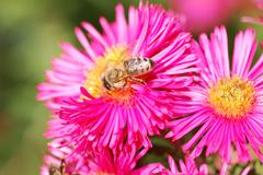 Honeybee collecting pollen on a pink aster flower - stock photo