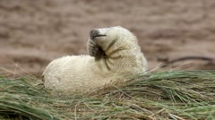 Grey Seal Pup in Grass Dune. - stock footage