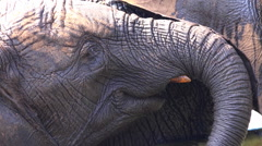African elephant closeup facial expression Stock Footage