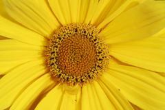 Yellow marguerite flower - stock photo