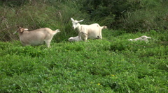 Jamaica adult and baby Goats on neighborhood trail 4K Stock Footage