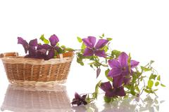 Beautiful blooming clematis Stock Photos