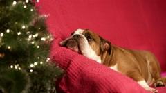 Bulldog lying in sofa near fir-tree Stock Footage