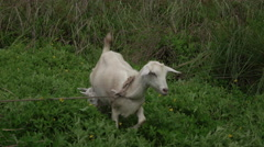 Jamaica nanny and baby kid Goats by neighborhood trail 4K 048 Stock Footage
