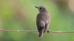 Bird Red-throated Flycatcher (Ficedula albicilla) eating a worm in forests Stock Footage