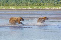 Grizzly Chasing off a Competitor Stock Photos
