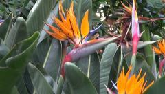 Flowering  exotic plants  strelitzia in  garden Stock Footage