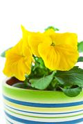 yellow pansy's sprout in ceramic pot - stock photo