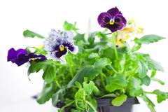 Stock Photo of multicolor pansy's sprouts in plastic pots