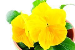 Stock Photo of yellow pansy
