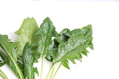 edible dandelion leaves , lettuce - stock photo