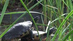 Two turtles basking in the sun by the pond Stock Footage