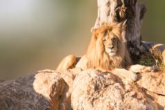 Male Angola lion portrait sitting on rocks with a tree as background. Stock Photos