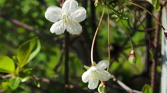 White Delicate Blossoms In The Wind On A Beautiful Spring Day Stock Footage