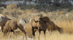 Bighorns Grazing, Flehmen, Licking Afternoon Stock Footage