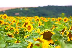 The sunflower field Stock Photos