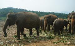 Asian Elephants, Sri Lanka - stock photo