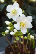Stock Photo of snow-white anemones in a pot
