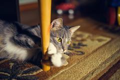 observe cat.  lying in ambush - stock photo