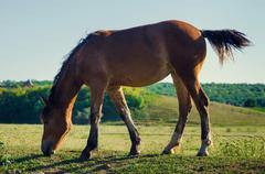 Stock Photo of brown horse eating green grass and swish tail