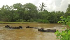 Buffaloes in a muddy water of the river. Asia.Sri Lanka - stock footage