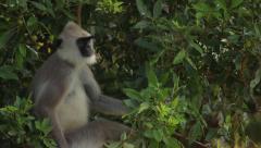 A monkey sits on a tree branch. Asia. Sri Lanka Stock Footage