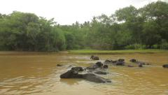 A herd of Buffalo in the river. The Island Of Ceylon. Sri Lanka Stock Footage