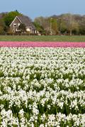 Hyacinth field in Holland - stock photo