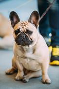 French Bulldog is small breed of domestic dog - stock photo