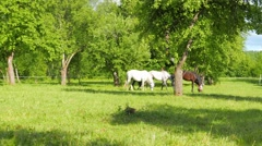 A family of horses graze in the apple orchard Stock Footage