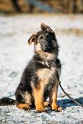 Young Brown German Shepherd Puppy Dog outdoor Stock Photos