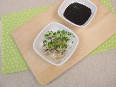 Basil sprouts and germinating seeds Stock Photos