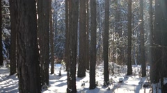 landscape snow trees dense forest in winter - stock footage