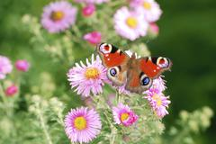 Asters with buttefly - stock photo