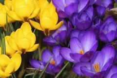 Yellow and purple crocus flowers - stock photo