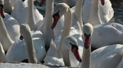 A large flock of white swans close up Stock Footage