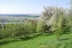 Flowering tree in Bavaria above the river Danube - stock photo