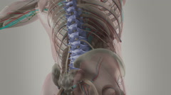 Human anatomy animation showing signals up back, spine and neck. Stock Footage