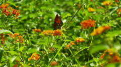 Butterfly gathering pollen on flower Stock Footage