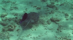 Stingrays swimming over seabed Stock Footage