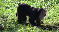 Lion-tailed macaque crouching on grass meadow Stock Footage