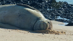 Seal relaxing on beach Stock Footage
