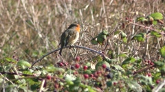 A European robin is perched on top of a bramble bush and is singing - 4K Stock Footage