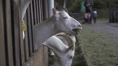 Funny shot of goat eating slow motion Stock Footage