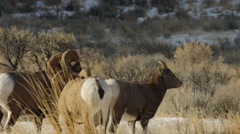 Bighorn Ram Repeatedly Lunges After Ewe Stock Footage