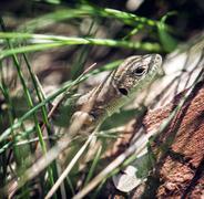European green lizard (Lacerta viridis), female Stock Photos